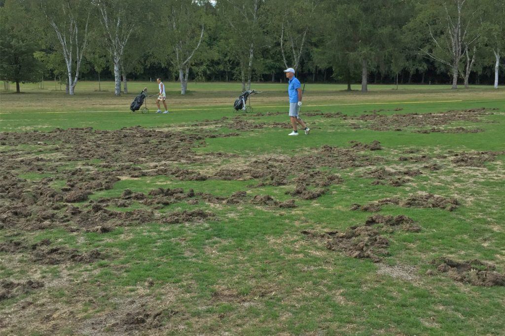 Wildschweine hatten das gepflegte Grün des Golfplatzes in einen Kartoffelacker verwandelt.