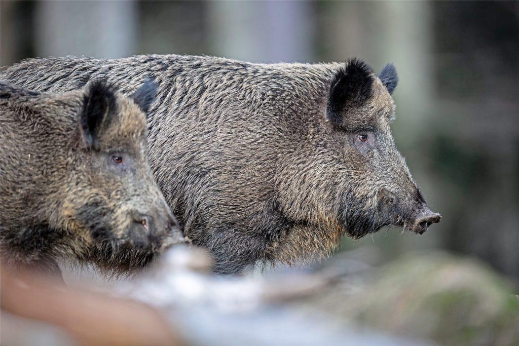 Wildschweine können einige Verwüstung anrichten.