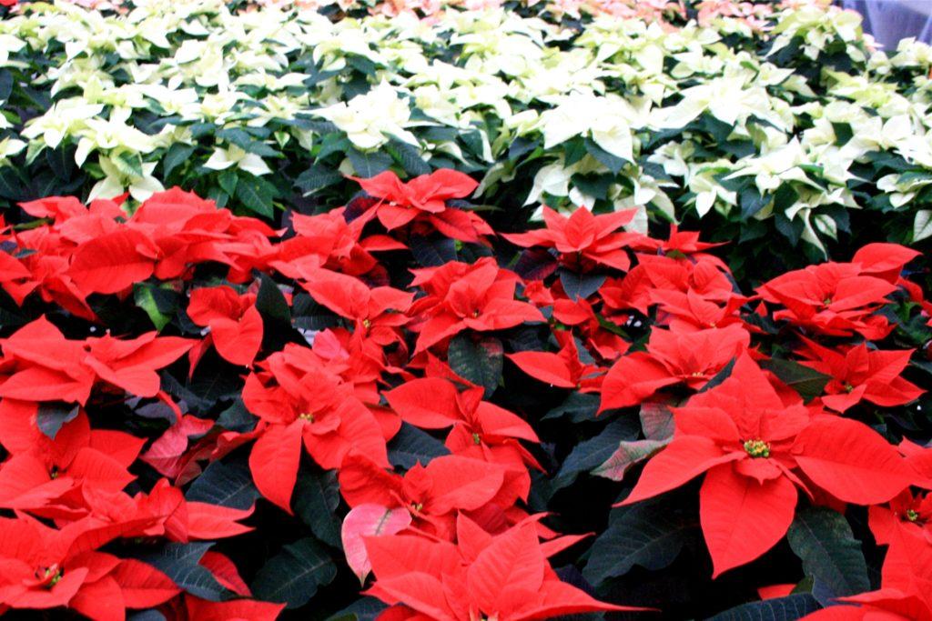 Gehören an Weihnachten einfach dazu: Weihnachtssterne, wie hier im Gewächshaus der Gärtnerei Drippe.