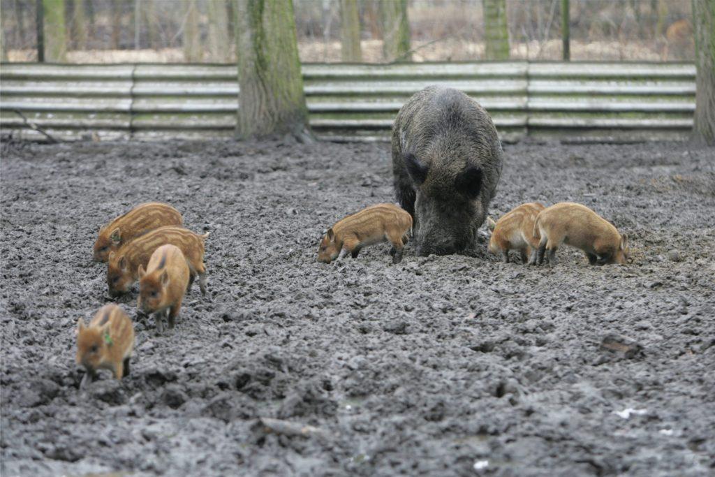 Im Wildgehege in Horst ist bisweilen Wildschwein-Nachwuchs zu sehen.