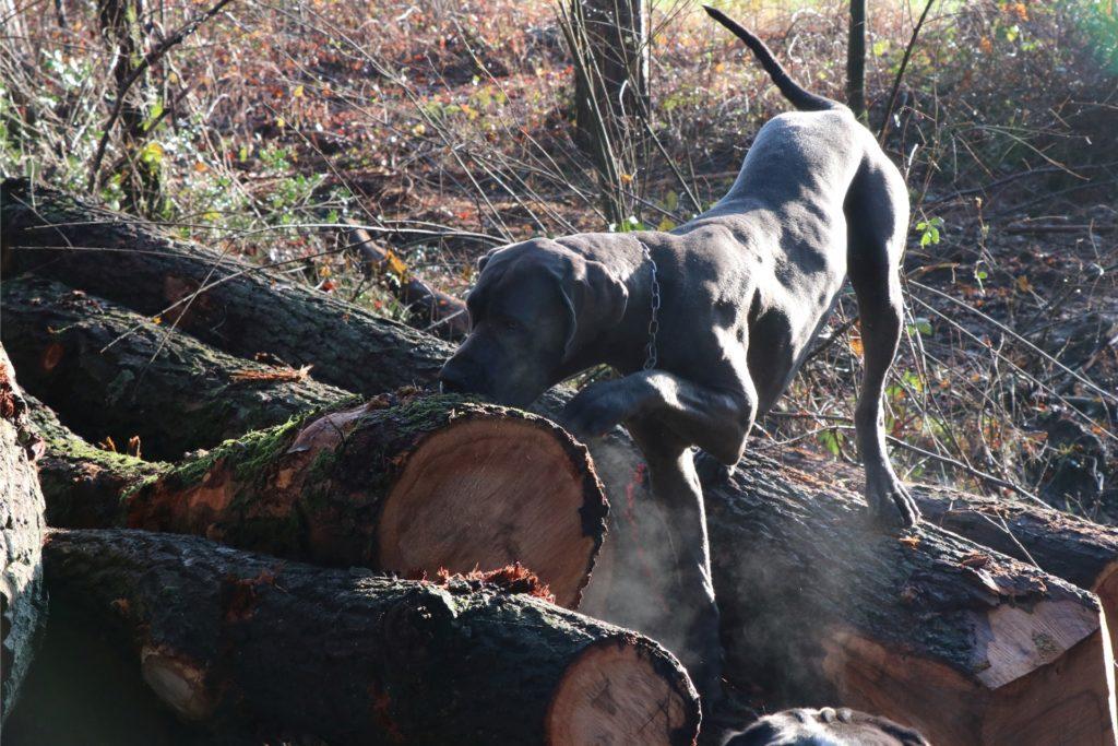 Mathilda schnüffelt an gefällten Stiel-Eichen. Auch Försterin Balke liebt den Duft und das Holz dieser Bäume.