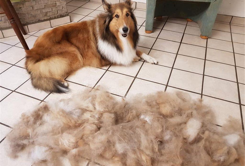 Damit die Haut des Hundes atmen kann, ist ein Besuch beim Hundefriseur in regelmäßigen Abständen notwendig.