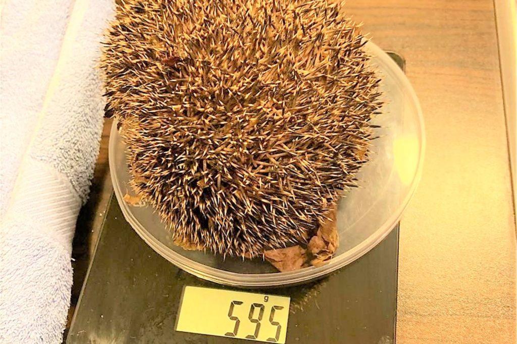 Der kleine Igel bringt aktuell nur 595 Gramm auf die Waage.