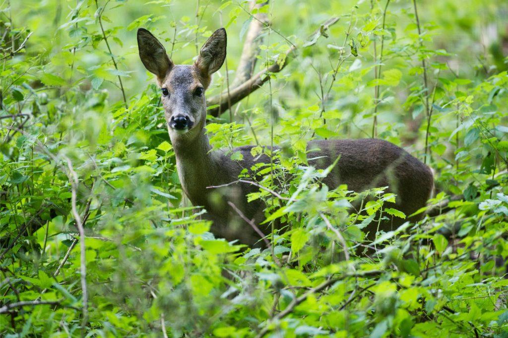 Das Wild muss sich wegen der vielen Waldbesucher immer mehr zurückziehen