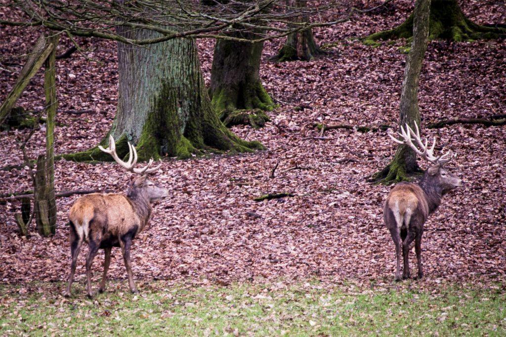 Im Wildwald Vosswinkel können Besucher heimische Wildarten in ihrem natürlichen Lebensraum beobachten.