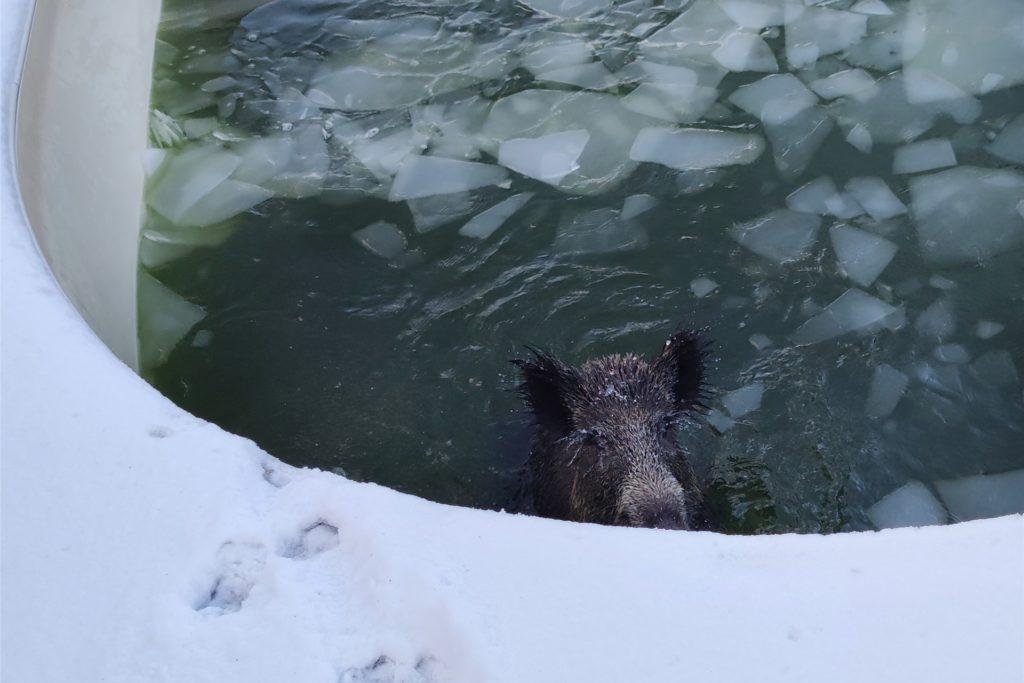 Ein Wildschwein ist in einem Swimmingpool zu sehen. Das Tier sei durch die Eisdecke eingebrochen und aus eigener Kraft nicht herausgekommen. Die Feuerwehr hat es vor dem Ertrinken bewahrt.