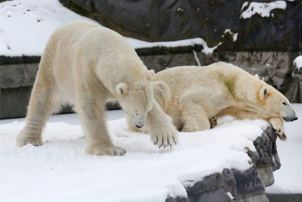 Während Eisbärmännchen Bill (l) im Schnee nach Fressen sucht, macht Eisbärdame Lara ein Nickerchen.