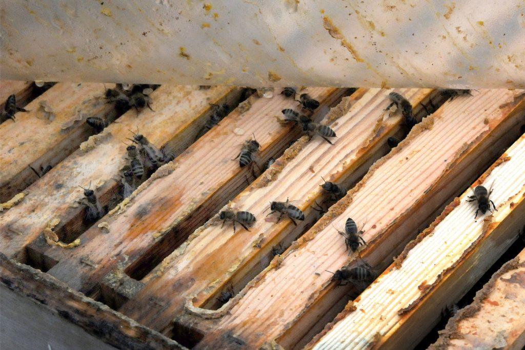 Unter der schützenden Plastikhaube des Bienenstocks krabbeln bereits die ersten Honigsammler nach oben.