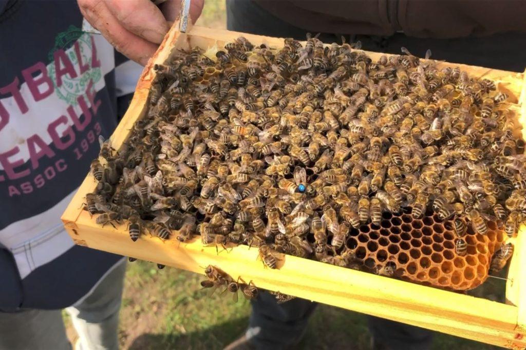 Die Bienenkönigin ist deutlich zu erkennen: Sie hat einen blauen Punkt mit der Nummer 7 auf dem Rücken.