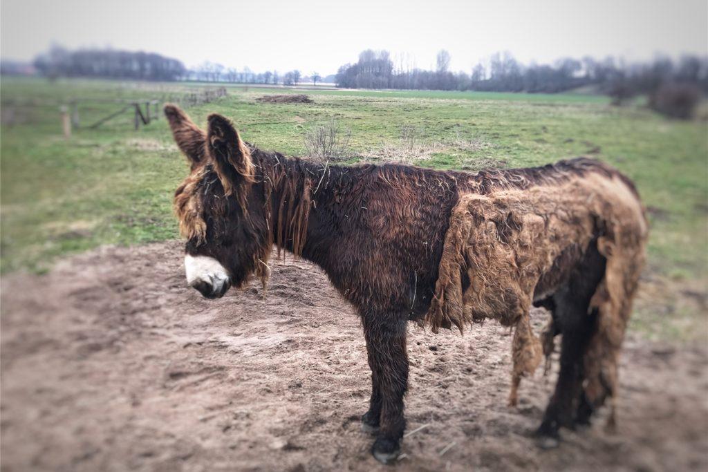 In festen Platten scheint das Fell am Körper zu kleben. Das ist typisch für die Rasse der Poitou-Esel.