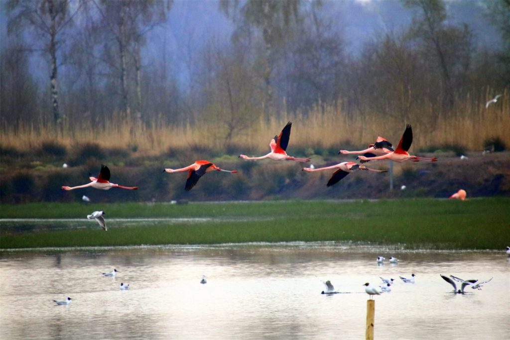 Flamingos fliegen im Zwillbrocker Venn durch die Lüfte.