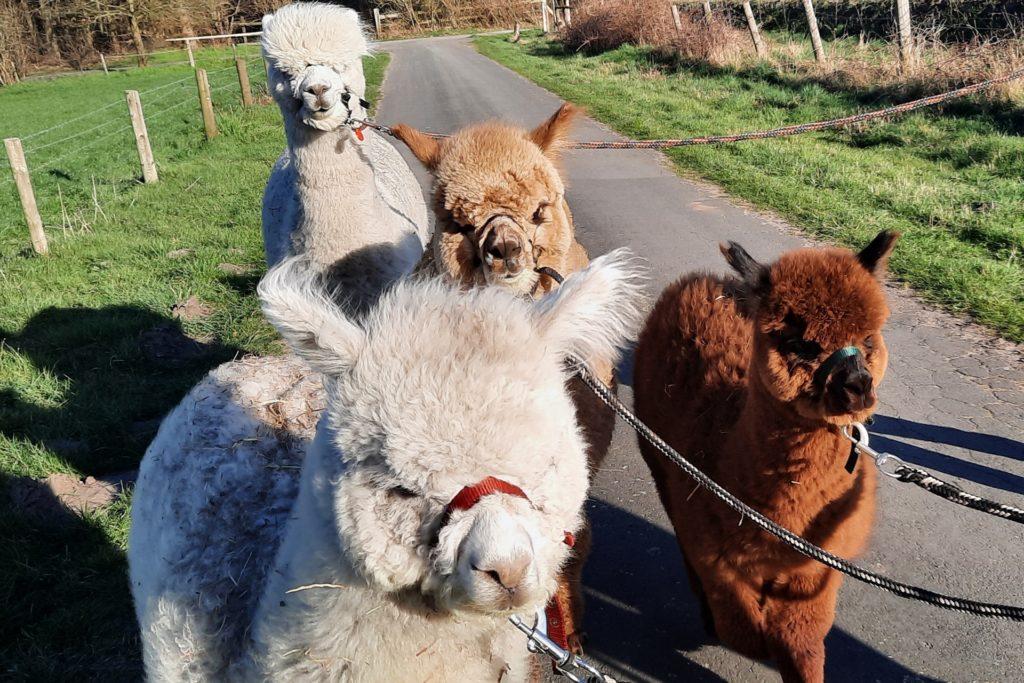 Drei Alpakastuten werden in Begleitung von Hengst Ted durch Gaxel geführt.