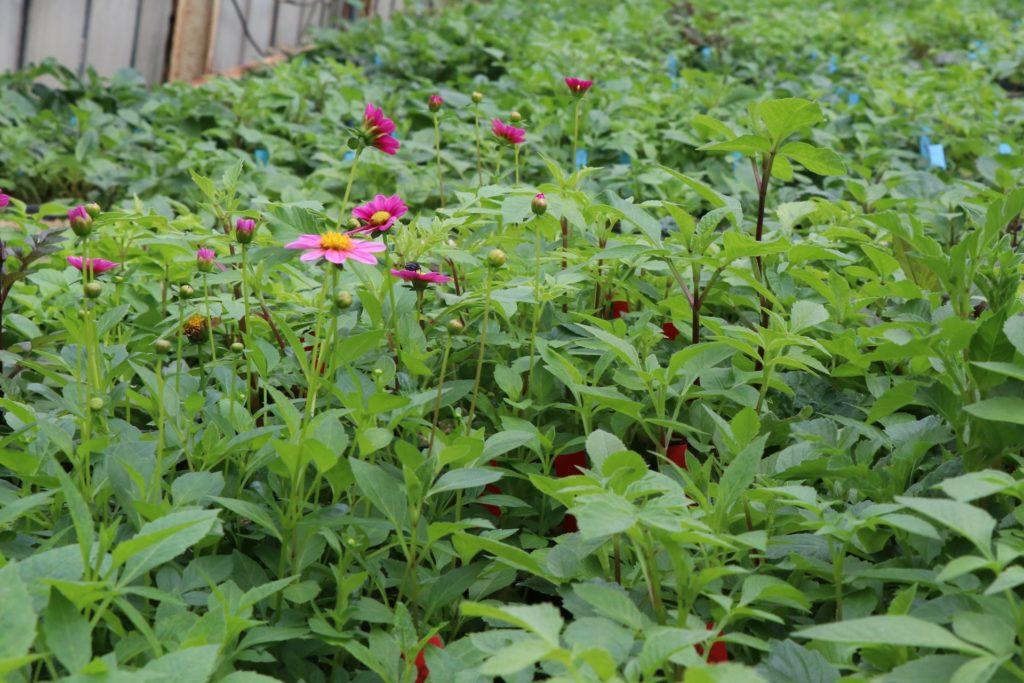 Manche der Dahliensetzlinge in der Anzucht blühen schon. An den farbigen Papierstreifen erkennen die Gärtner die verschiedenen Typen der Dahliensorten: Rot steht zum Beispiel für offene Blüten.