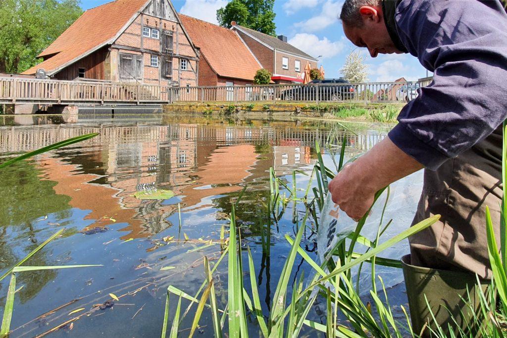 500 Quappen wurden oberhalb der historischen Wassermühle und 500 unterhalb in die Dinkel gesetzt.