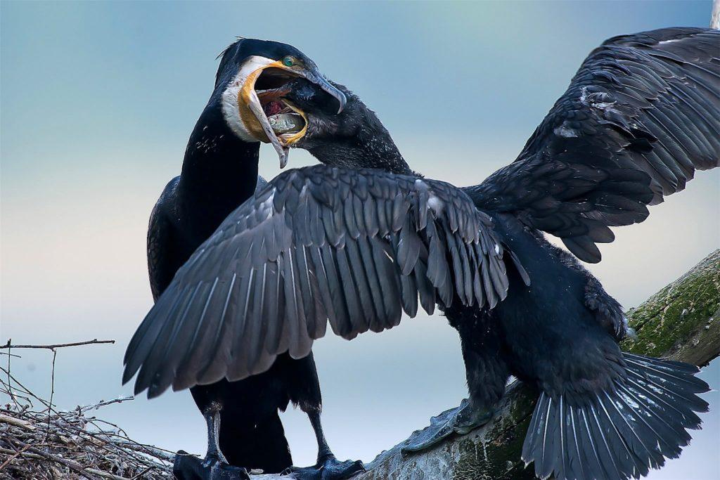 Ein Kormoran Jungvogel wird gefüttert.