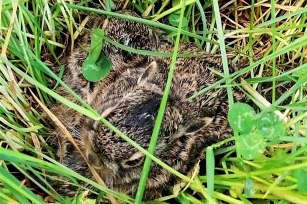 Junge Hasen liegen im hohen Gras und warten auf die Häsin.