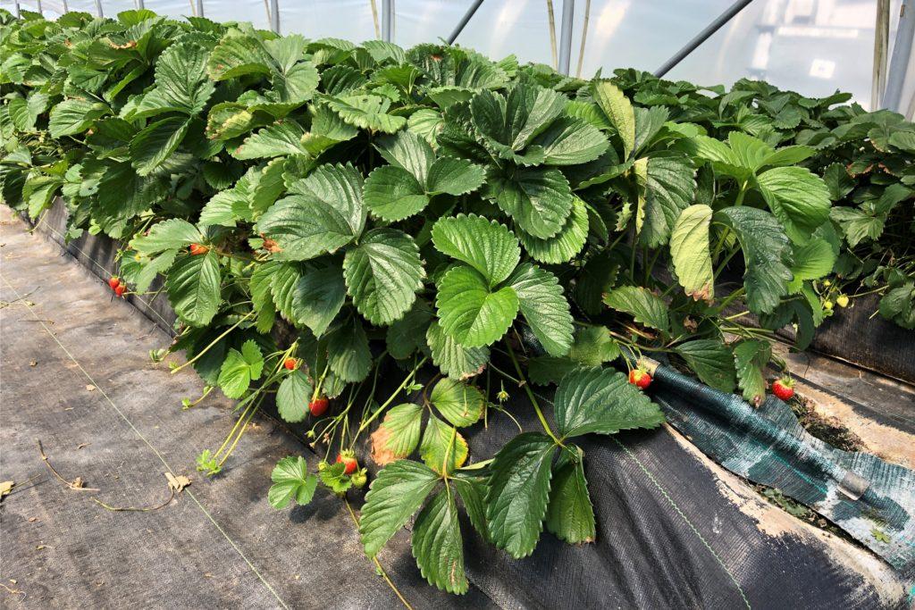 Die Erdbeeren warten auf Wärme.