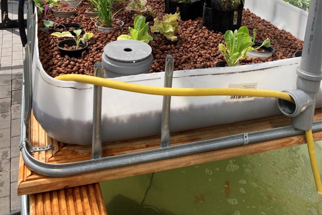 Oben die Pflanzen, unten im Wasser die Fische: Das Aquaponik-System der Geschwister-Scholl-Gesamtschule.