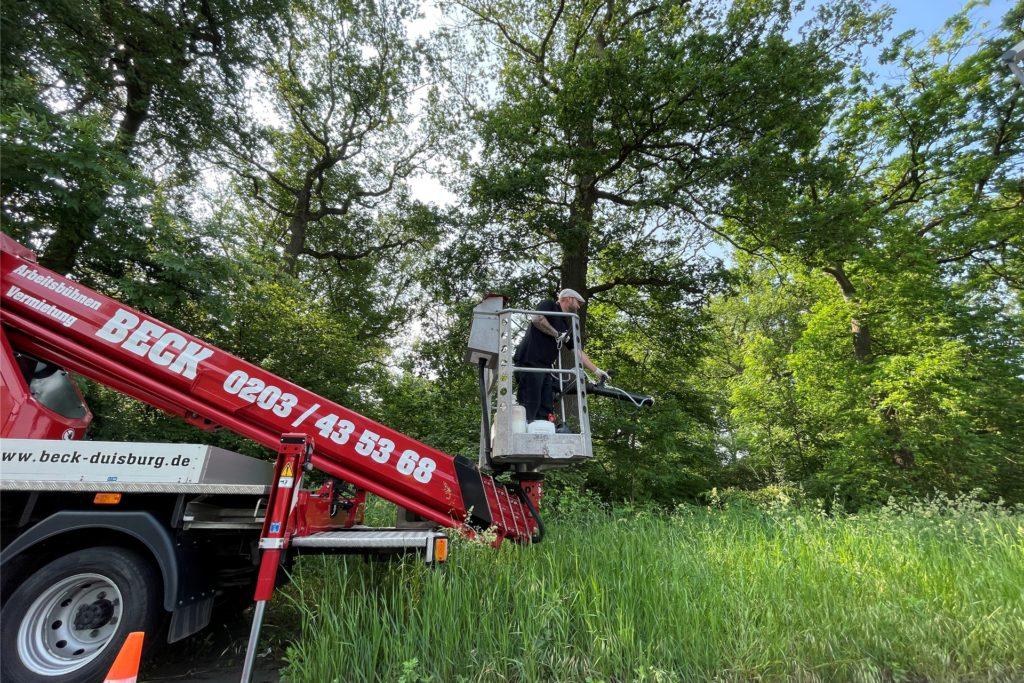 Rund 60 Nistkästen haben die Schädlingsbekämpfer im Frühjahr in den Bäumen im Gänsebusch aufgehängt.