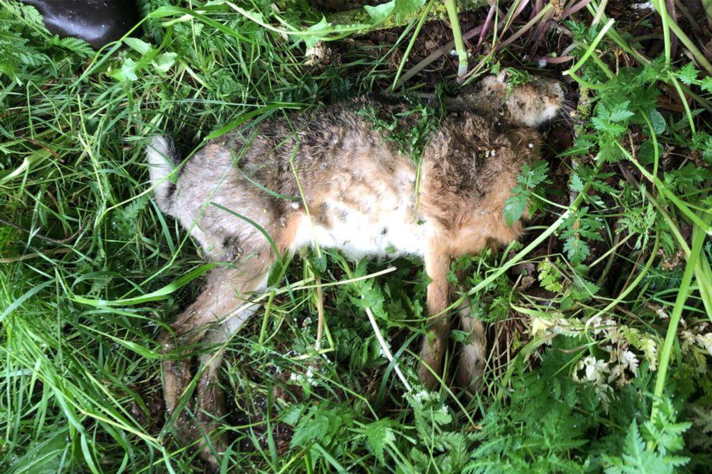 In Stadtlohn ist jetzt ein Fall von Hasenpest nachgewiesen worden. Dieser Hase wurde durch Zufall von einer Hundehalterin in Stadtlohn entdeckt.