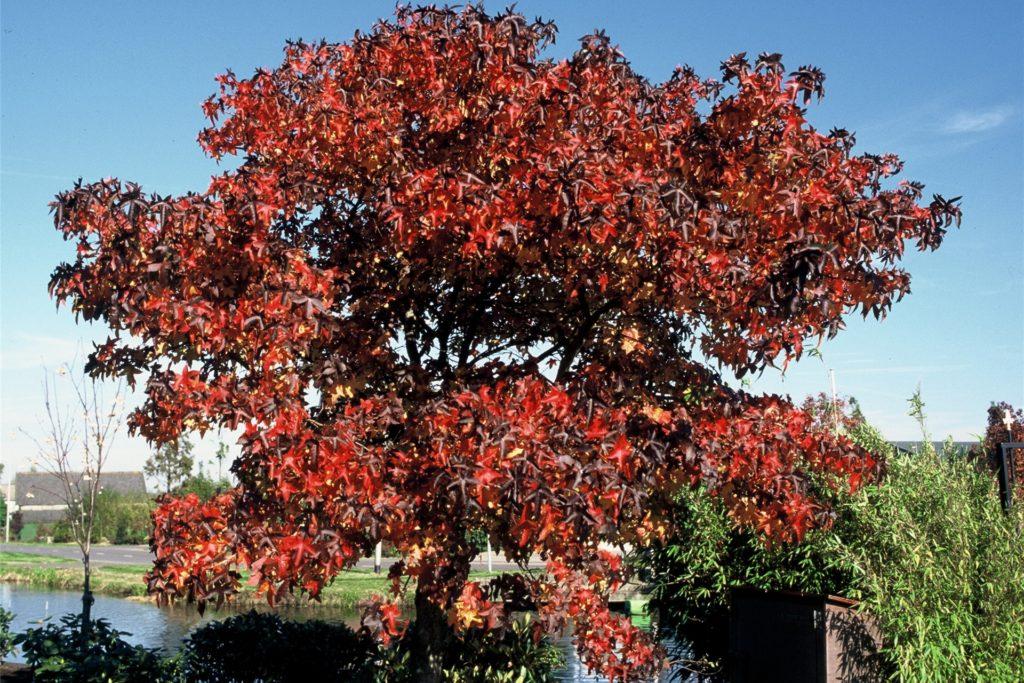 Der Amberbaum wird gerne wegen seiner fantastischen Herbstfarben gepflanzt.