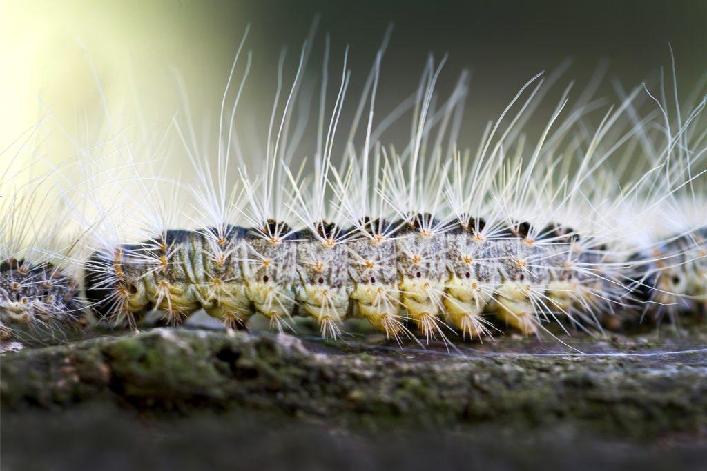 Die Raupen des Eichenprozessionsspinners können ihre giftigen Brennhaare wie Pfeile abschießen.
