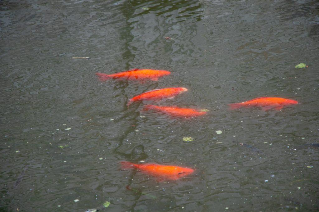 Goldfische schwimmen im Stadtgraben. Sie vermehren sich, weil sie dort auch nicht viele natürliche Feinde haben.