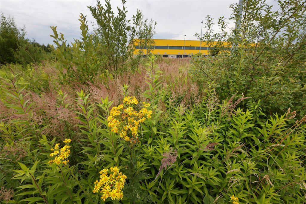 Öko-Paradies statt Ökostrom: Wo jetzt noch Johanniskraut blüht, sollen bald umweltfreundliche Elektromobile aufladen.