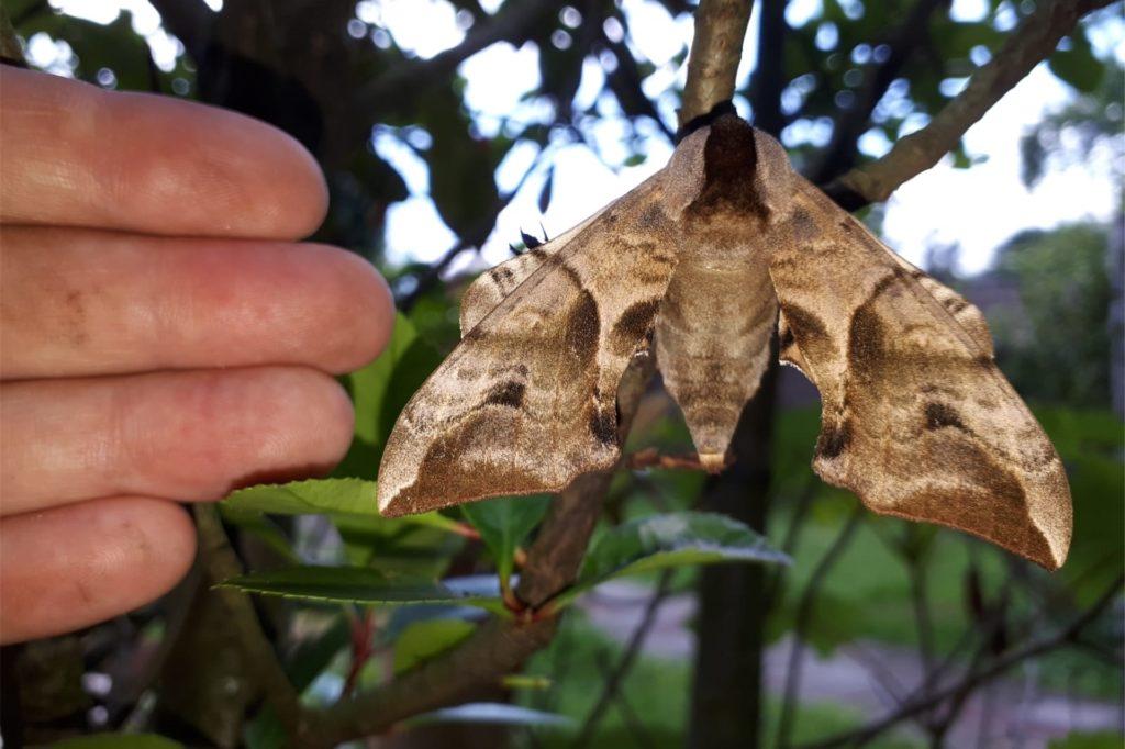 Das Abendpfauenauge erreicht eine Flügelspanne von bis zu acht Zentimetern.