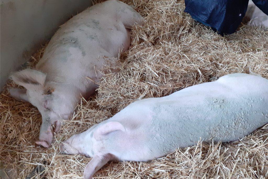 Auf einem Schweizer Gnadenhof erlernte Martina Berkenkamp die Hypnose an Tieren. Das Ergebnis: entspannte Schweinchen.