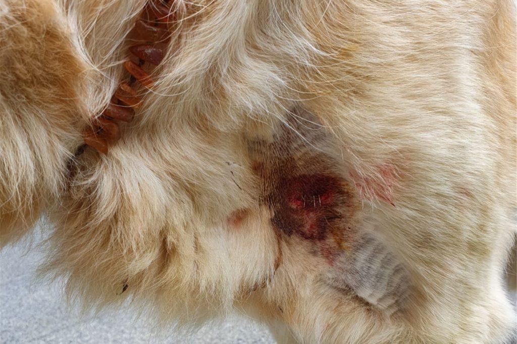 Eine etwa 20 Zentimeter lange Wunde am Hals und mehrere Löcher im Bauch- und Brustbereich mussten geklammert werden.