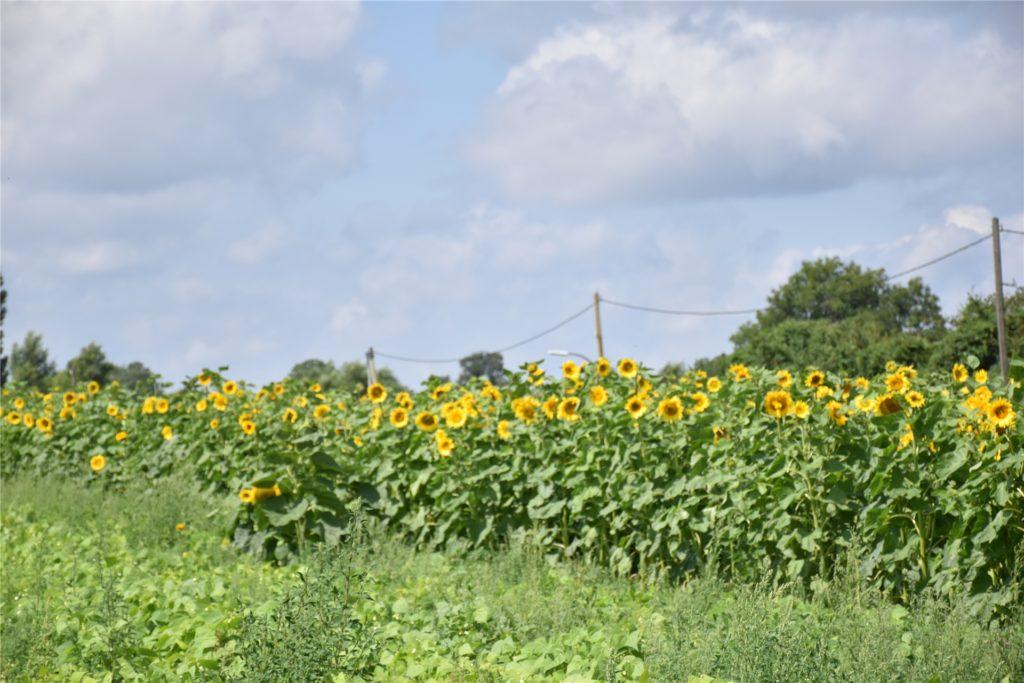 Drei solcher Reihen an Sonnenblumen wurden gesät. Auch für die Insekten sind die Pflanzen hilfreich.