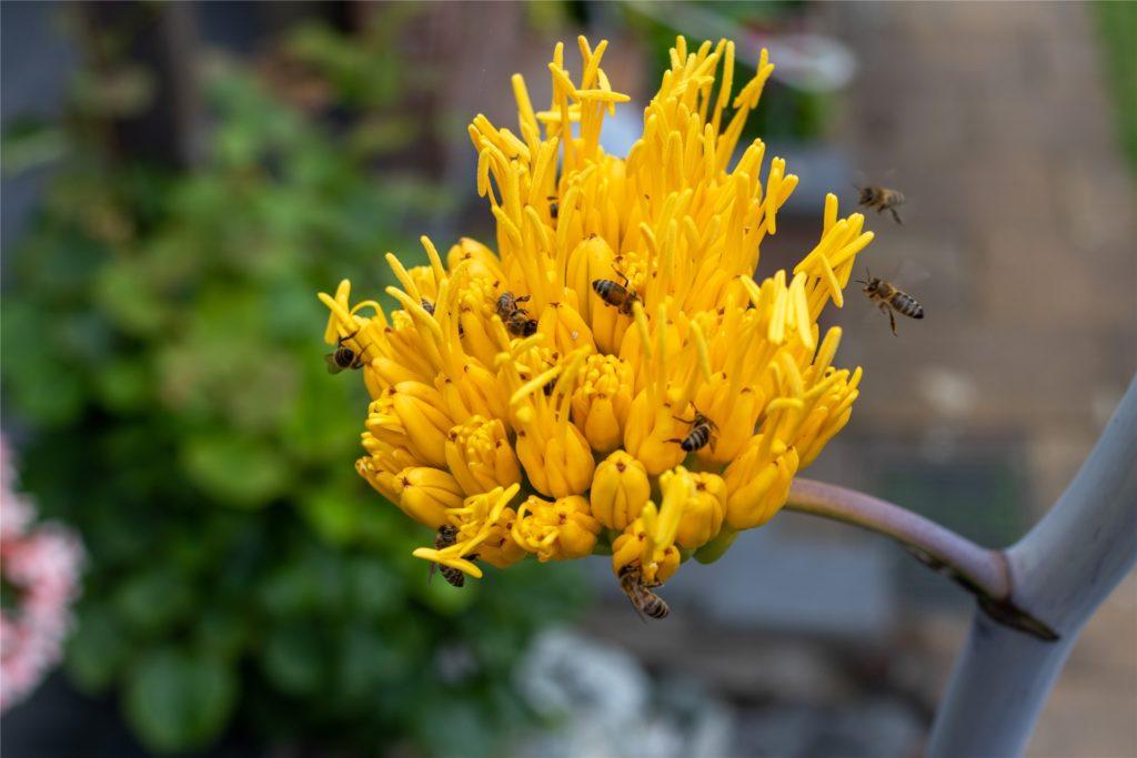 Nicht nur den Menschen gefällt's: Die Blüten der Agave locken im Moment ungezählte Insekten an.