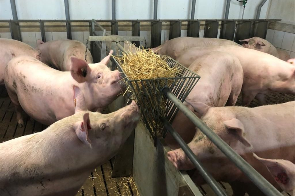 Die Schweine im Stall von Tobias Großerichter haben mehr Platz als gesetzlich vorgegeben. Zudem ist Tageslicht ein weiteres Kriterium für die Teilnahme an der Initiative Tierwohl.