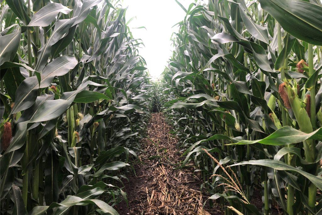 Nichts für Klaustrophobiker, die Gänge im Maislabyrinth sind ziemlich schmal.