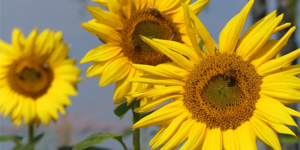 Sonnenblumen blühen zurzeit an vielen Feldrändern in Schwerte. Die Landwirte haben sie als Insektenfutter angepflanzt - später können Vögel die Samen ernten. Doch es gibt ein Problem: Die Blumen gefallen auch anderen.