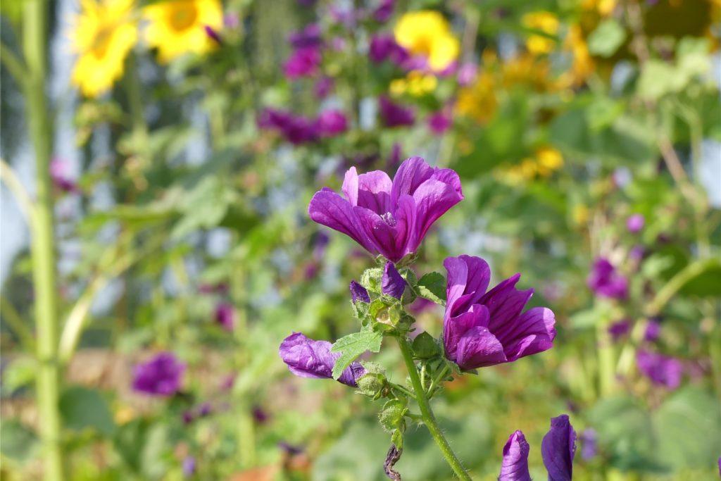Malven und viele andere Blumensorten kann man sich auch ganz leicht in den heimischen Garten pflanzen.