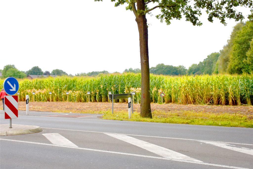 Einige Reihen Mais wurden auf dem Feld bereits zu Testzwecken geerntet. Dabei wurde der Beton entdeckt.