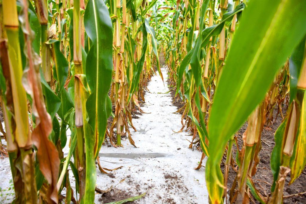 So es im Maisfeld noch vor wenigen Tagen aus.